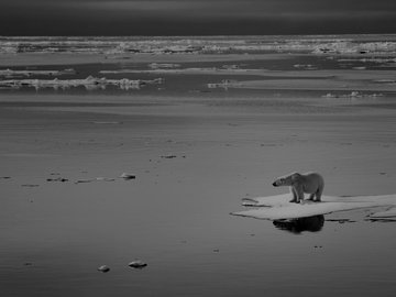 Polar bear stranded on melted iceberg.